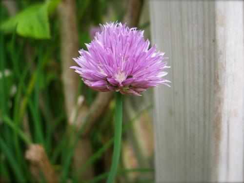 chive-flower.jpg