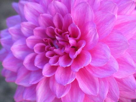 dahlia-flower.JPG