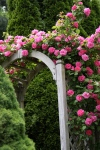 roseflowers